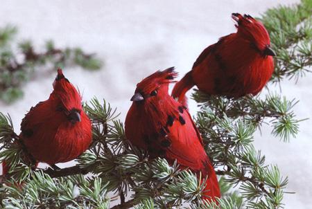 Christmas Tree Clip-On Cardinal Ornaments (Set of 18): NOVA68.com